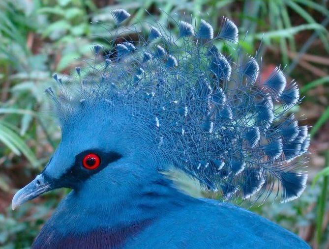 mambruk victoria   kicauan burung