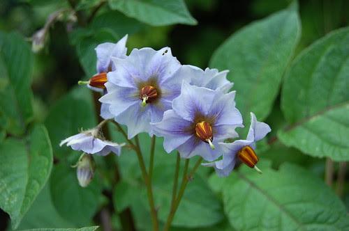 Salad Blue potato flowers
