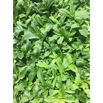 Lobelia cardinalis 72 Plugs   Conservation Quality Plants by ArcheWild