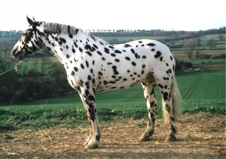 Leopard animal horse