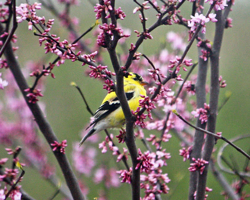 Yellow Finch in the redbud tree.