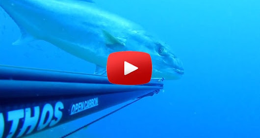 Spearfishing enormous Amberjack – Can't get any closer