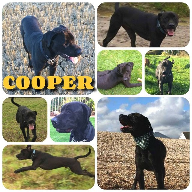 Cooper – 4 year old male Labrador cross Rottweiler