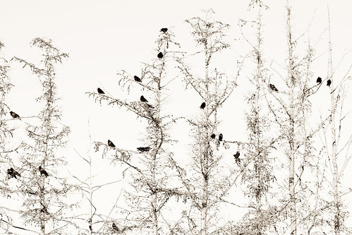 The crows in the trees II por Villi.Ingi