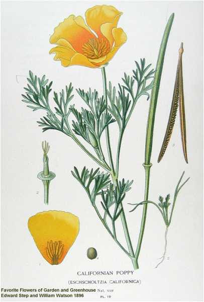 Quiescent California Poppy: A Medicinal Chill Factor - The Pot Lab