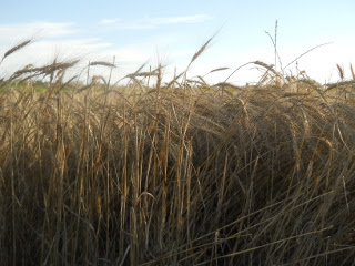 Closeup of 2015 Wheat, Early June