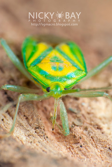 Mirid Bug (Miridae) - DSC_5705