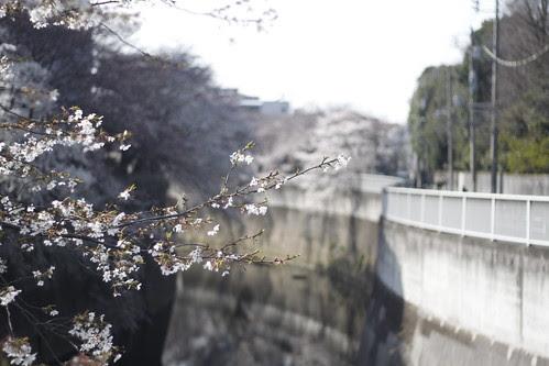 Cherry blossoms at Kanda river 2