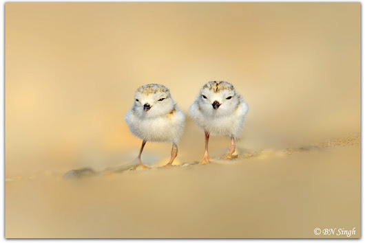 Shorebird of the Year 2016: Piping Plover