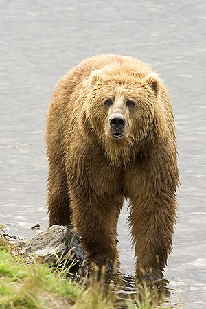 English: Brown Bear (Ursus arctos) Español: Os...
