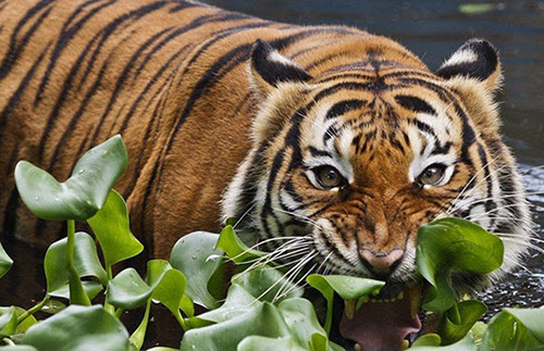 eikona-pagkosmia-imera-tigris