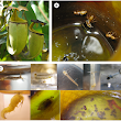 A Novel Type of Nutritional Ant–Plant Interaction: Ant Partners of Carnivorous Pitcher Plants Prevent Nutrient Export by Dipteran Pitcher Infauna