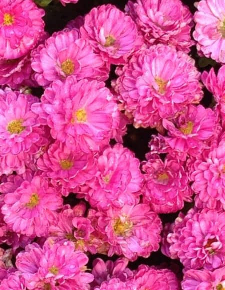 Plant of the Week: Mum - D & A Dunlevy Landscapers, Inc.