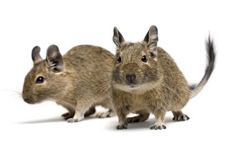 Planning to Get Home a Pet Degu? Here's How to Care for It
