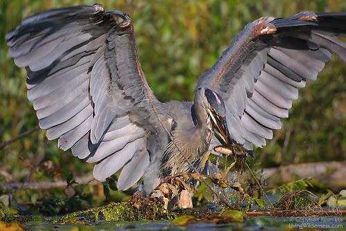 Great Blue Heron Fishing, Washington Park Arboretum, Seattle, Washington
