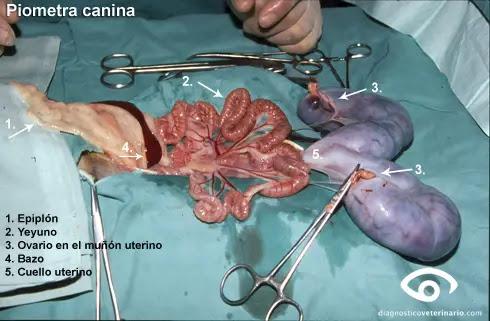 piometra-campo-quirurgico-490