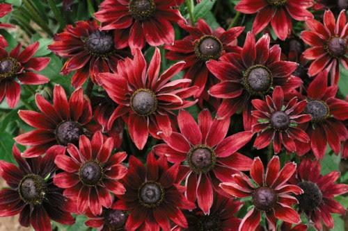 http://www.martinseebergardendesign.co.uk/wp-content/uploads/2009/02/rudbeckia_cherry_brandy1.jpg