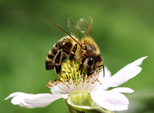 Honey Bees: Small Creatures with Big Problems - Treetops Landscape Design Inc.