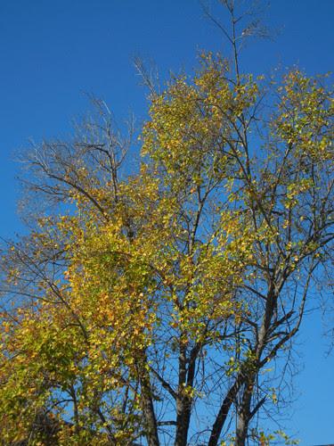 DSCN7357 - Golden Autumn Leaves