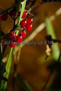 shiny red berries in the autumn