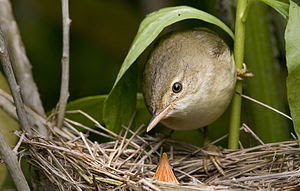 English: A Marsh Warbler (Acrocephalus palustr...