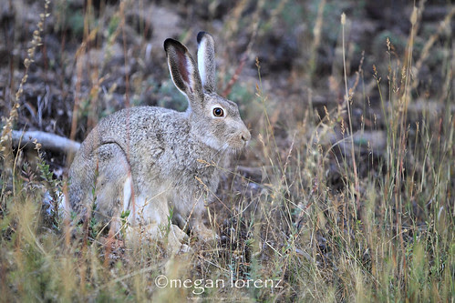 Jackrabbit by Megan Lorenz
