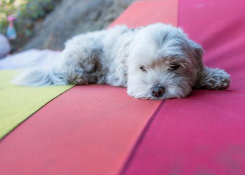 Shiro sleeping at Leavenworth