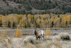 keremeos-bighorn-sheep