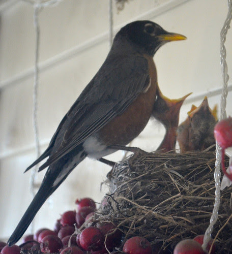 Mom robin and hungry babies