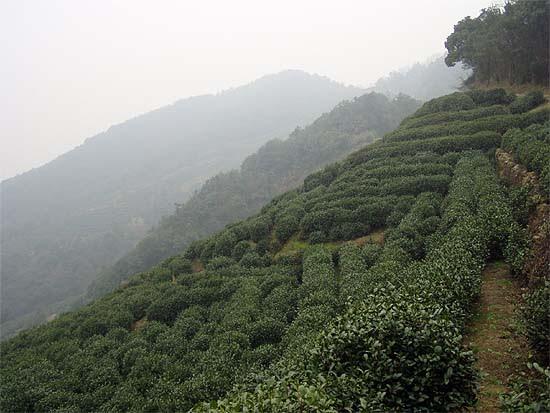Az Oroszláncsúcs (狮峰 Shifeng) teaültetvényei a Sárkánykút (龙井 Longjing) faluja körüli teavidéken, a Nyugati-tó mellett.