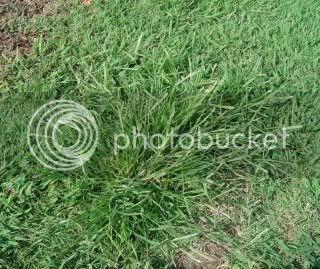 Gambar Rumput Sambau