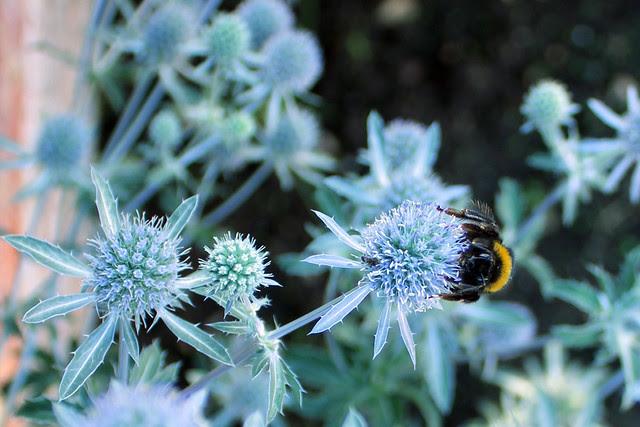 Eryngium bee