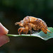 cicada carapace