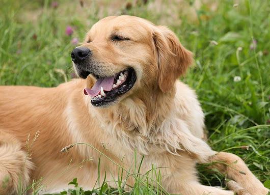 The Dangers of Grass Seed for Your Dog