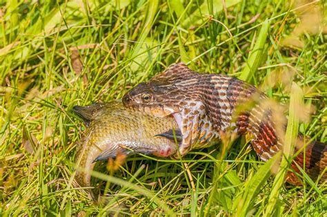 Learn about Nature   Diet of Snakes   Learn about Nature