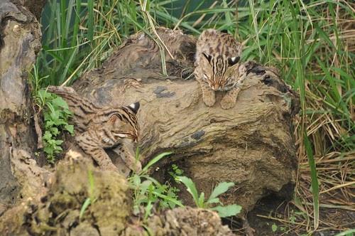 石虎保育回顧:關注我們身邊的台灣貓科動物