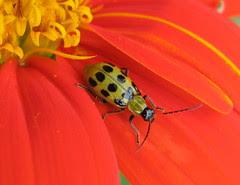 Spotted Cucumber Beetle, Diabrotica undecimpun...
