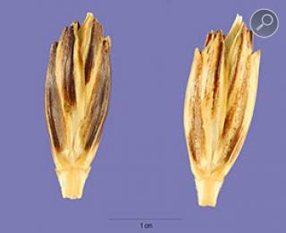 Σπόρος Ζέας (Triticum dicoccum)