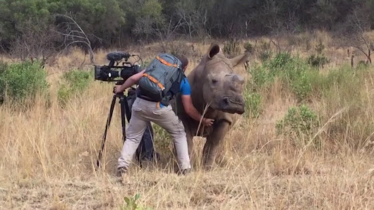 A Wild Rhino Approaches a Familiar Photographer to Request a Nice Belly Rub From Him