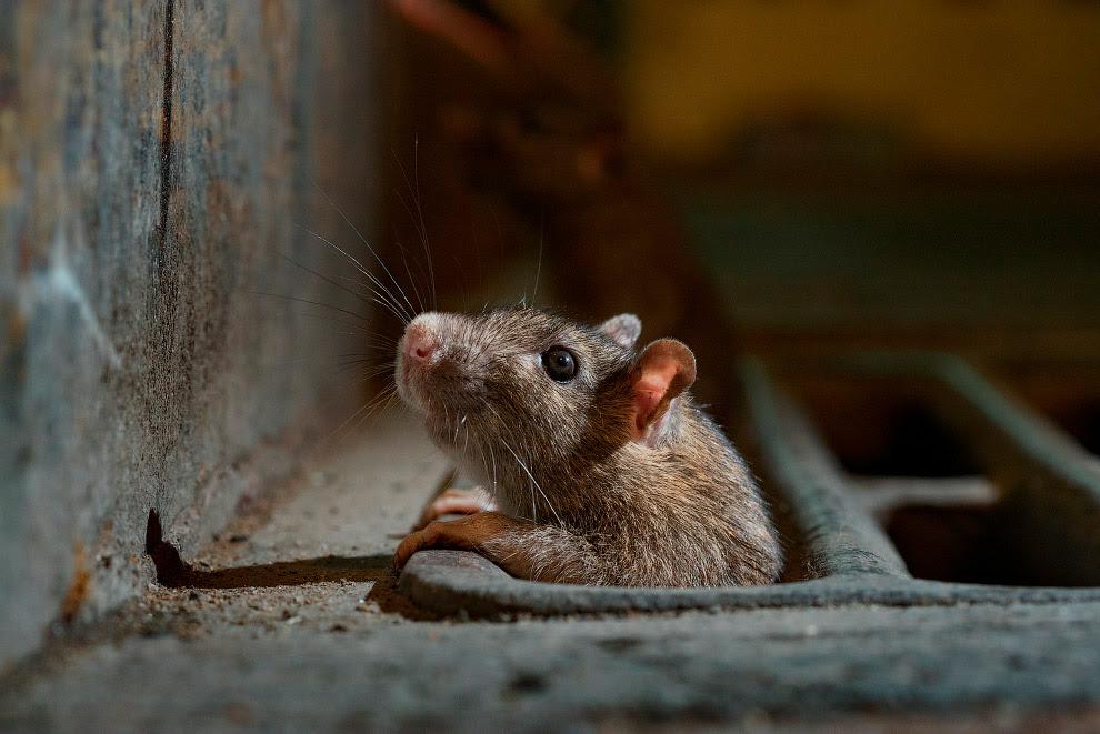 Крыса из подземного Нью-Йорка