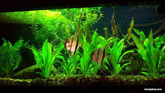 Moisture Amazonian Fish tank Shopping and Industrial Breeding