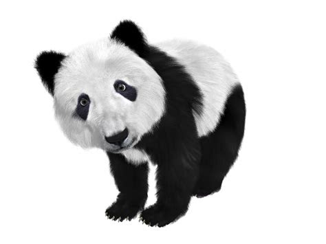 panda animal png transparent images  images