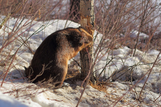 A Beaver in the middle of winter?