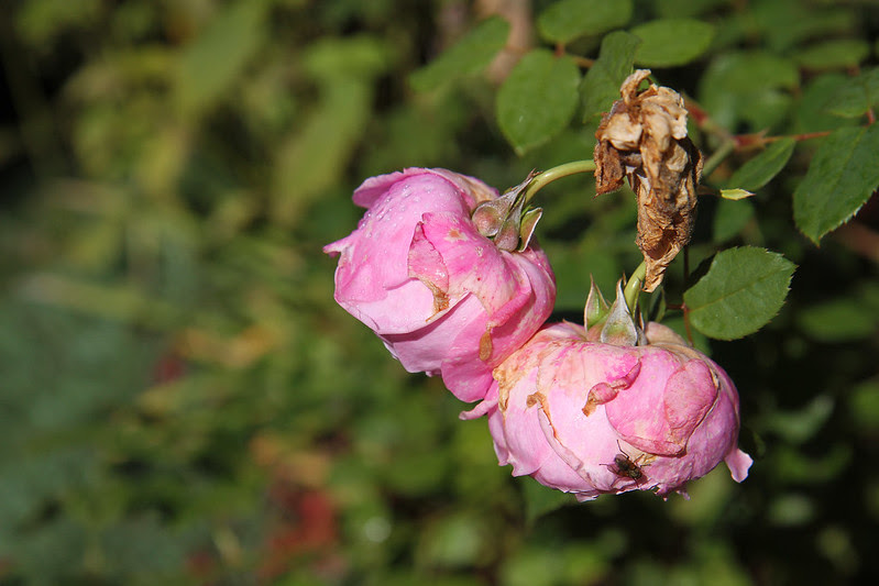 last roses and fly