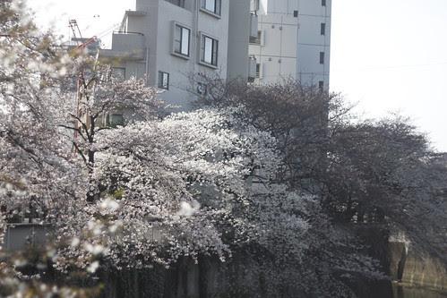 Cherry blossoms at Kanda river 3