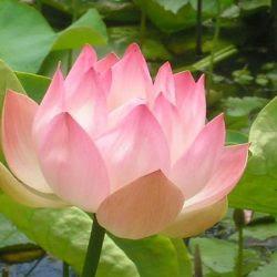 La Flor De Loto Significado De Los Colores Simbología En El