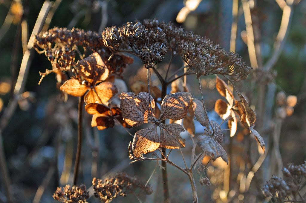 Hydrangea macrophylla 'Blue Bird'