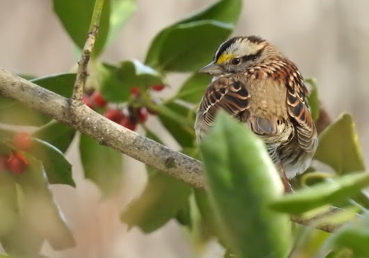 Birds of Reston, Va.: Song Sparrow & White-Throated Sparrow | DaleCameronLowry.com