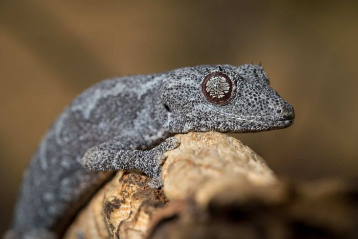 A closeup photo of a northern spiny-tailed gecko