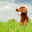 Celiac Disease in Dogs | Gluten Intolerance in Dogs